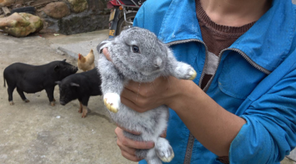 华农兄弟:在路边捡到一只兔子,挺可爱的,放到竹鼠池里养着