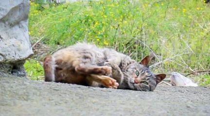 养了9年的大狸花猫发情了
