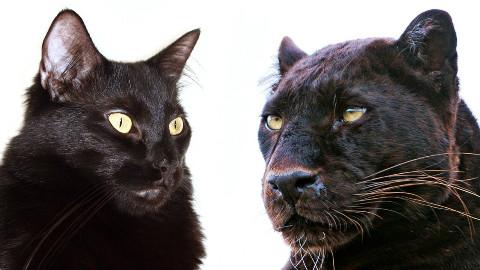 【油菜和橘子酱】家养猫咪和大型猫科动物的10个超萌