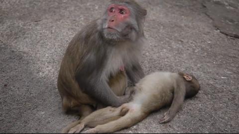 【萌兽天团】小猴子死在妈妈怀中,猴妈寸步不离等它醒来.图片