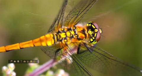 【纪录片】蜻蜓 【双语特效字幕】【纪录片之家爱自然】