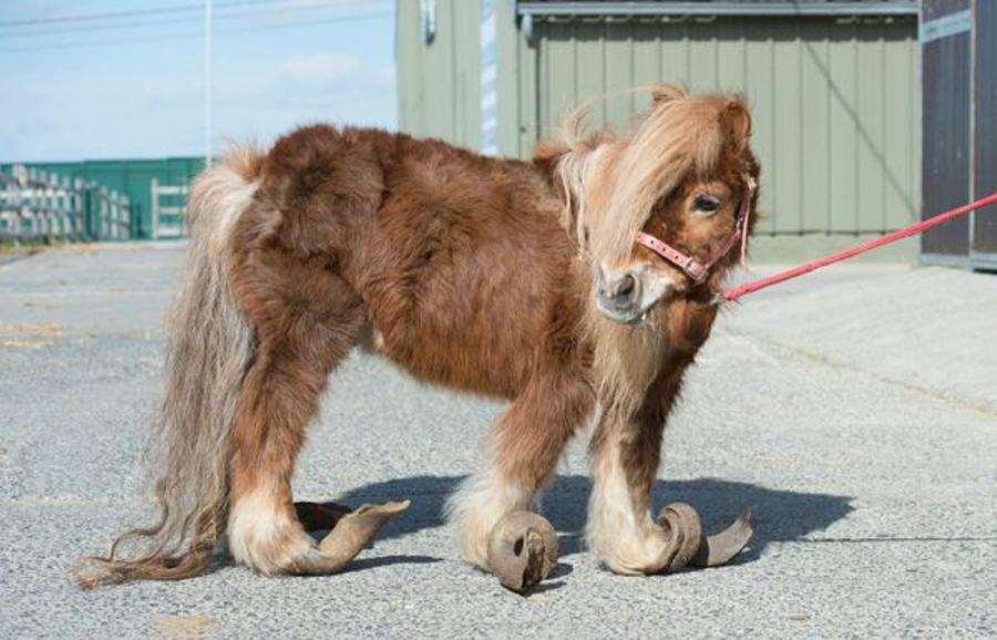 小马被主人疏于照顾10多年 马蹄长成卷状