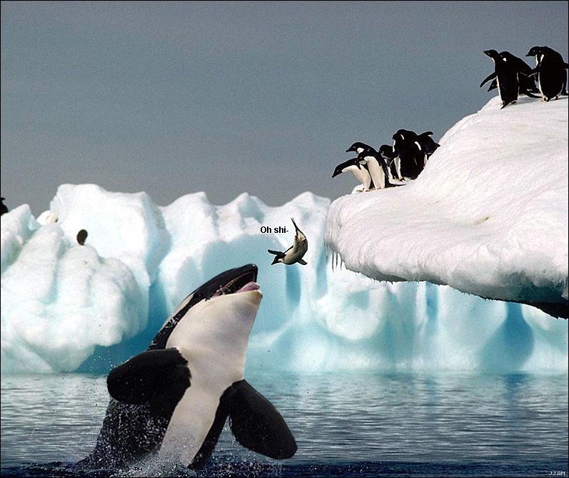 首先,虎鲸的语言远超过人类语言的复杂度,它们能发出62种不同的声音,每一种声音都有着不同的含义。正是凭借着这种交流能力,使得它们在团队狩猎中能够发挥出协同作战的能力。比如在捕猎海豹时,如果它们藏身于浮冰之上,虎鲸就会在领头大姐大(是的虎鲸是标准的母系社会,老大都是雌性)的指挥下集体下潜, 并同时用尾巴拍击水面,制造出巨大的波浪,将浮冰掀翻,再捕食落水后的海豹。