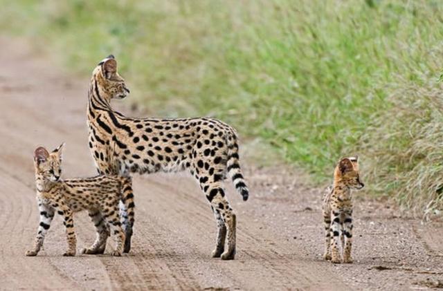 """正经趣闻·自然界中的那些""""小野猫""""们"""