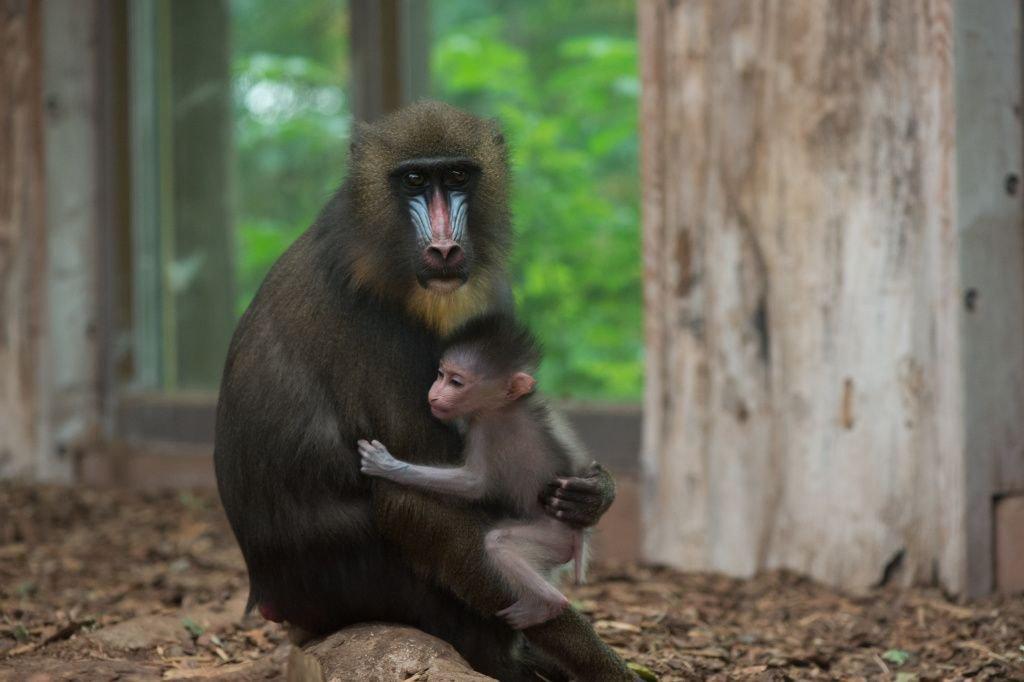 狒狒父亲狮子口下勇救幼崽_巴黎动物园50只狒狒出逃 园方紧急疏散参观民众