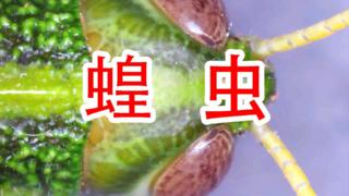 蝗虫放大100倍,希望蝗灾不要来中国!