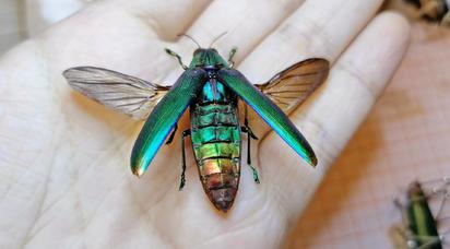 吃彩虹糖长大的虫子 好漂亮!