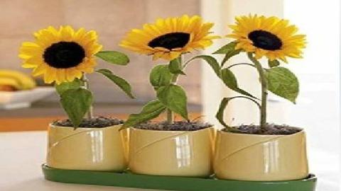可以放在家里养的矮向日葵好可爱啊,是否是您向往的田园生活Part1