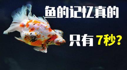 鱼的记忆真的只有7秒吗?这个谣言骗了我们多久?