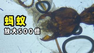 放大500倍的蚂蚁你见过吗?像科幻电影里的大怪兽!