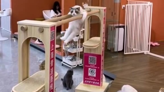 会双杠的猫猫,这猫不参加奥运会可惜了