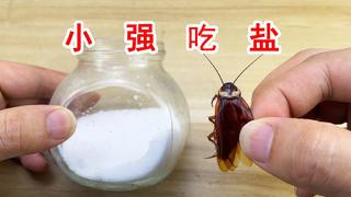 给小强吃点盐会怎么样?会不会直接变成卤蟑螂?