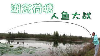 环境优美的湖岔荷塘,一个截口8米1长竿拉成大弯弓,开启人鱼大战