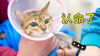 猫知道要被绝育后,竟原地打转,淡定地接受了事实