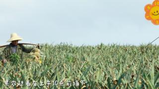 鼎龙·天海湾徐闻菠萝春日礼遇|菠萝的海究竟有多壮观?
