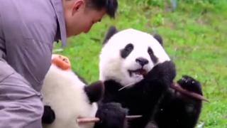 给大熊猫擦嘴有多难